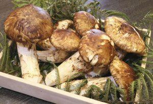 Matsutake - Một trong những loại nấm đắt nhất thế giới
