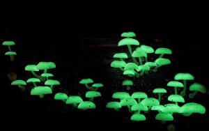 Nấm Mycena Chlorophos phát sáng đặc trưng