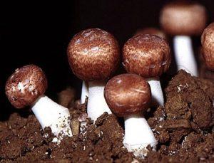 Nấm thái dương - Có nguồn gốc từ Brazil